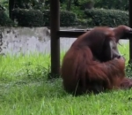 watch-orangutan-smoking-in-controversial-zoo