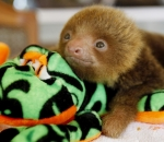A baby sloth rests over a stuffed plush sloth